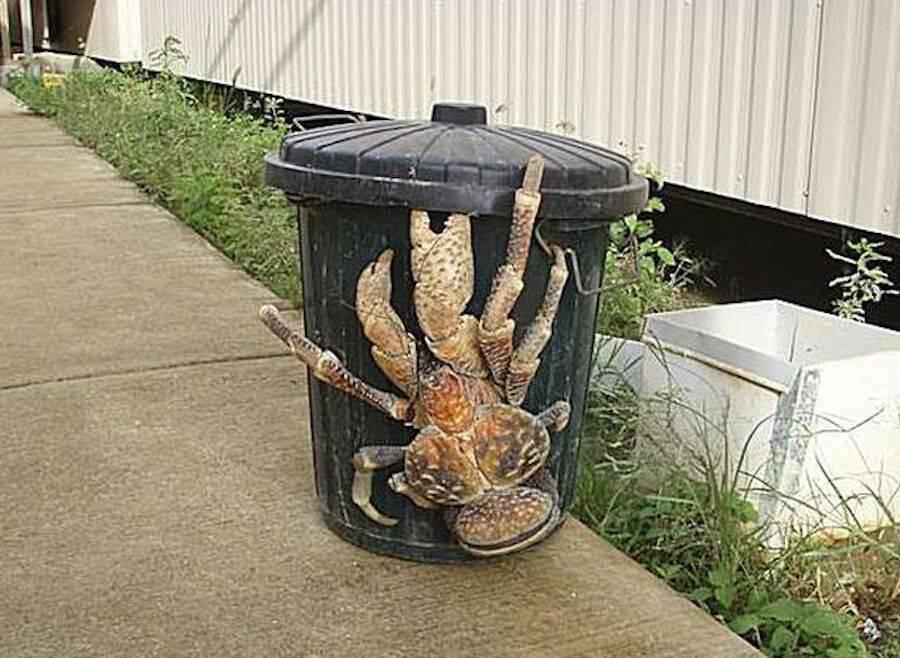 coconut-crab-1.jpg