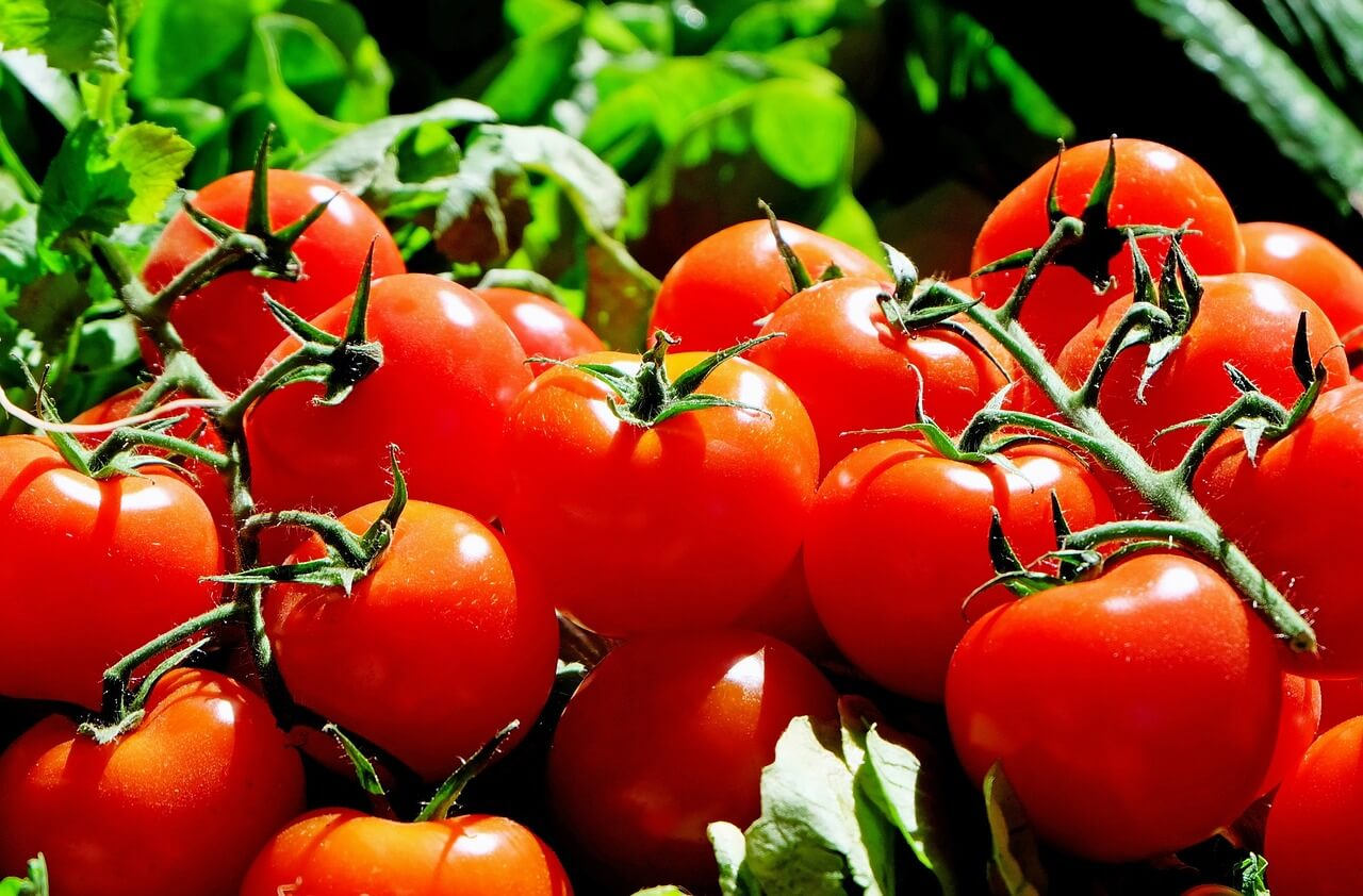 Growing tomatoes in the north during the harsh winter